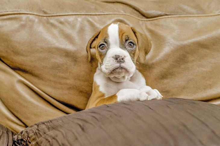 boxer puppy relaxing on the couch