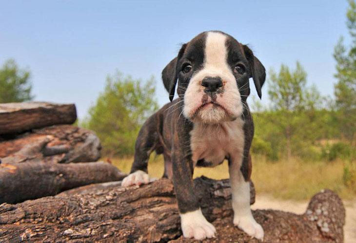 cute boxer puppy ready to play