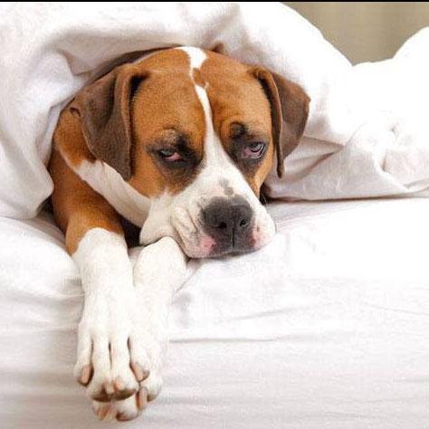 boxer dog taking a nap