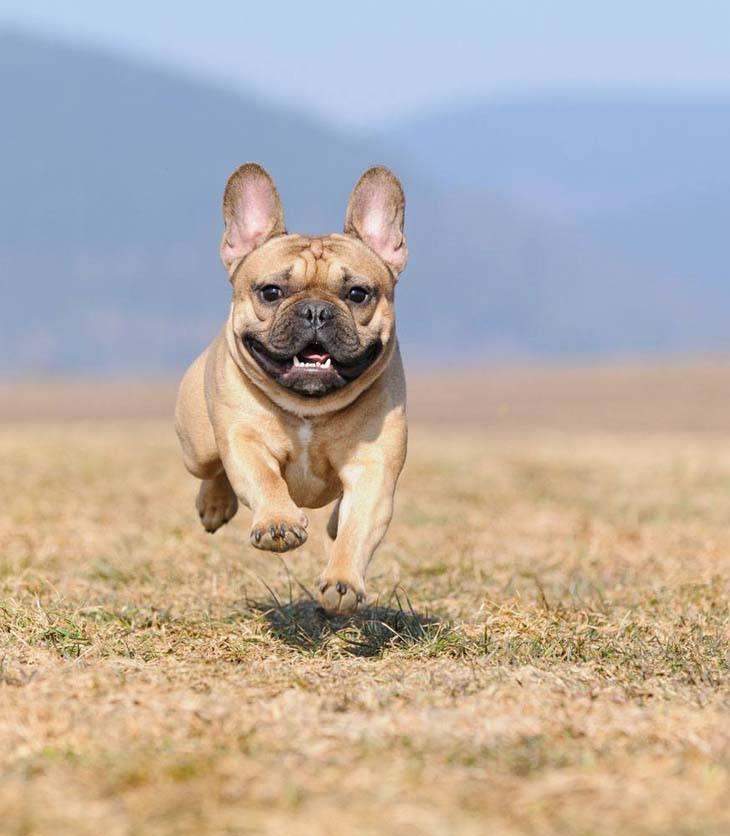 french bulldog running home for dinner