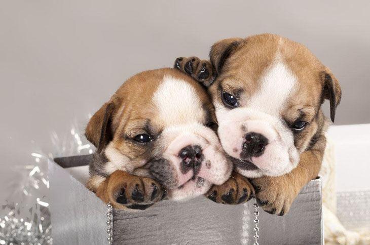 english bulldog puppies popping out of a box