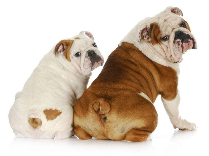 two bulldogs showing off their bums