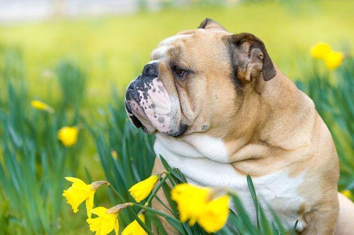 bulldog in a flower field