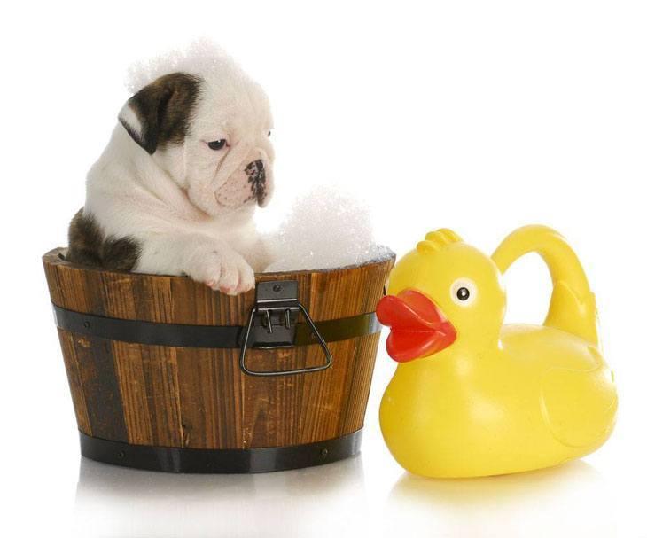 bulldog puppy taking a bath
