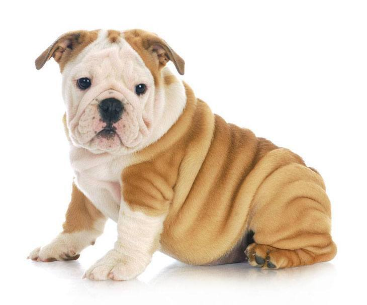 cute bulldog puppy posing for the camera