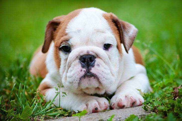 english bulldog puppy waiting for someone to play with it