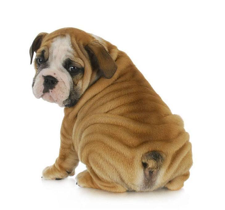 english bulldog puppy is proud of it's bum
