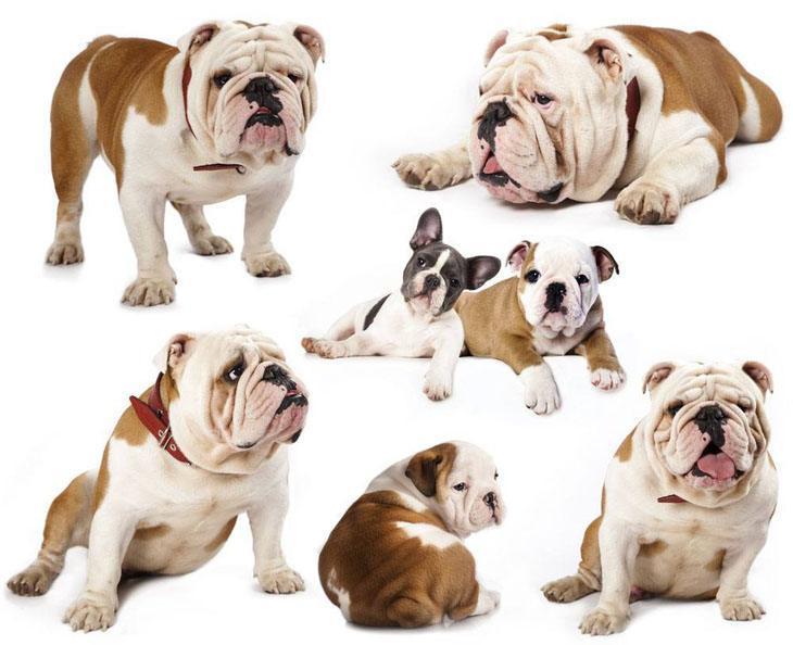 bulldog collage