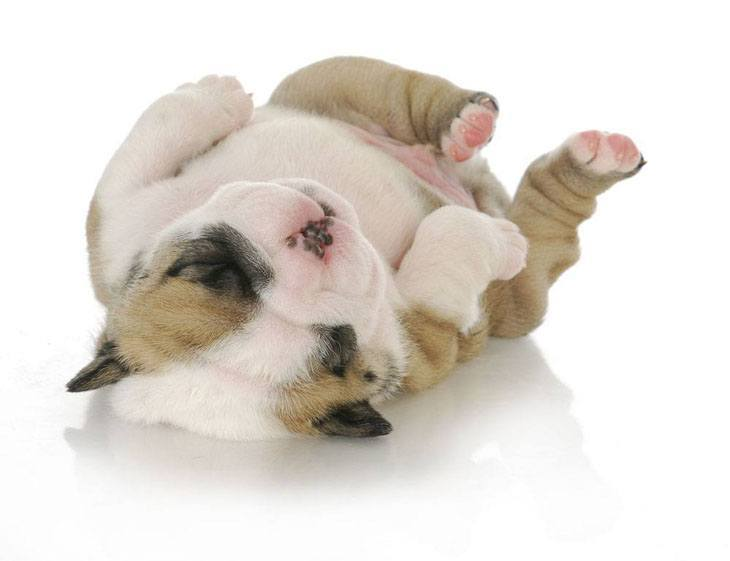 bulldog puppy wants it's belly rubbed