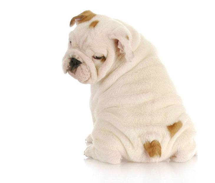 bulldog puppy starting to get hungry
