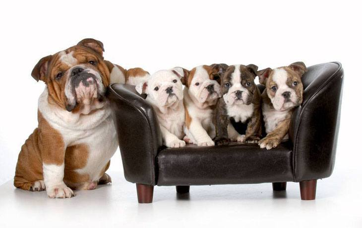 cute bulldog puppies posing for the camera