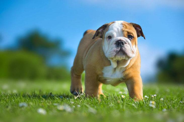 bulldog out in a green field