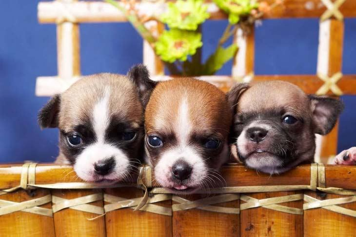 three cute chihuahua puppies