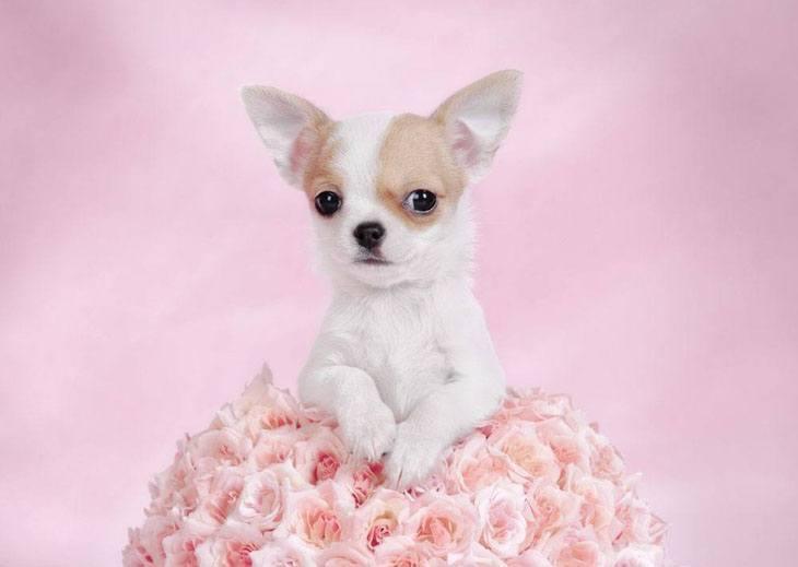 chihuahua puppy saying Hi