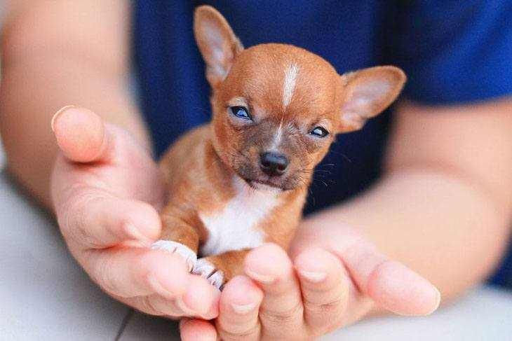 chihuahua puppy newborn facing the world