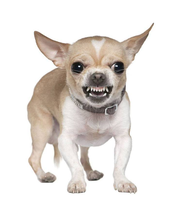 angry chihuahua growling