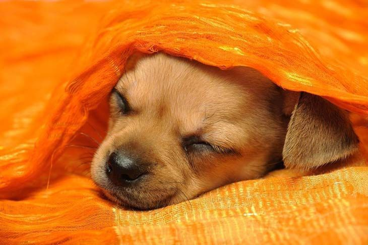 cute chihuahua taking a nap