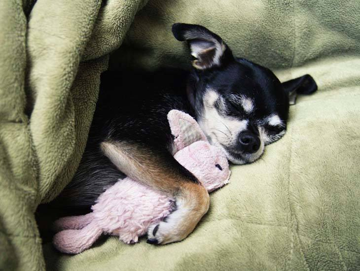 cute chihuahua taking a snooze