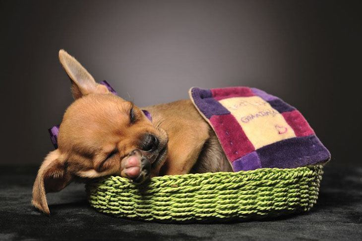 cute chihuahua puppy sleeping after playtime