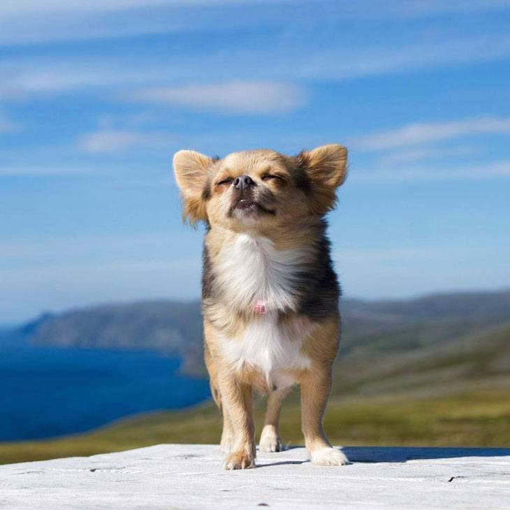 long haired chihuahua enjoying the outdoors