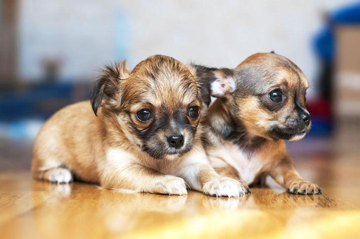 two chihuahua puppies wanting to pounce