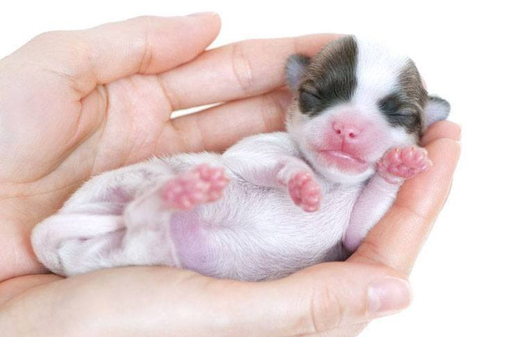 cute chihuahua newborn puppy