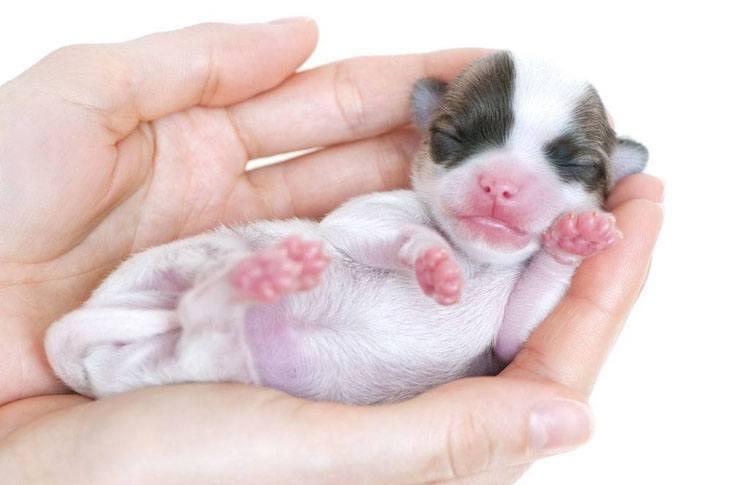 cute chihuahua newborn puppy