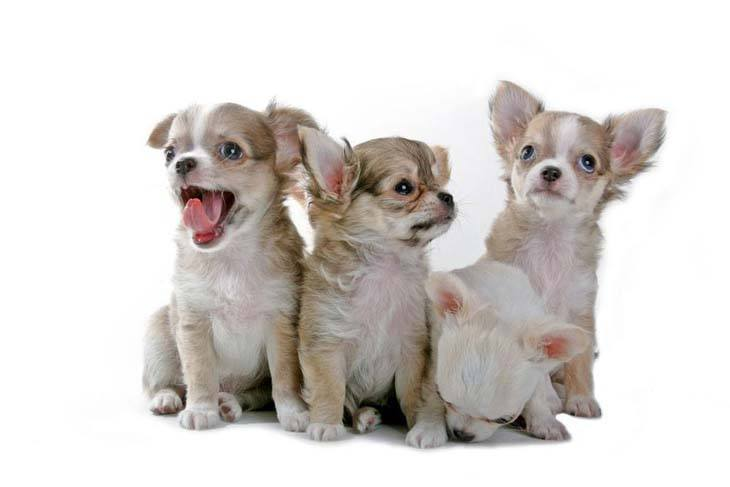 four chihuahua brothers