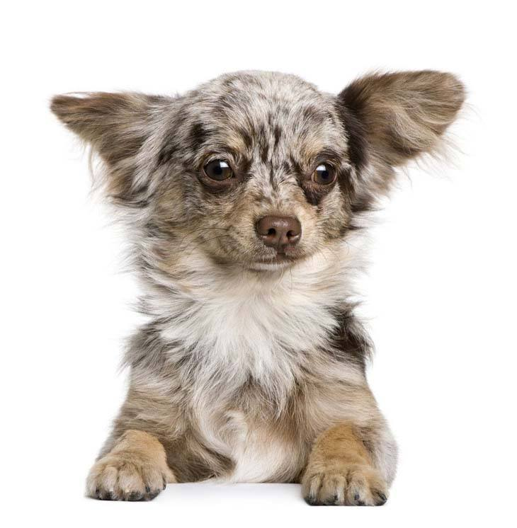 beautiful merle colored chihuahua puppy