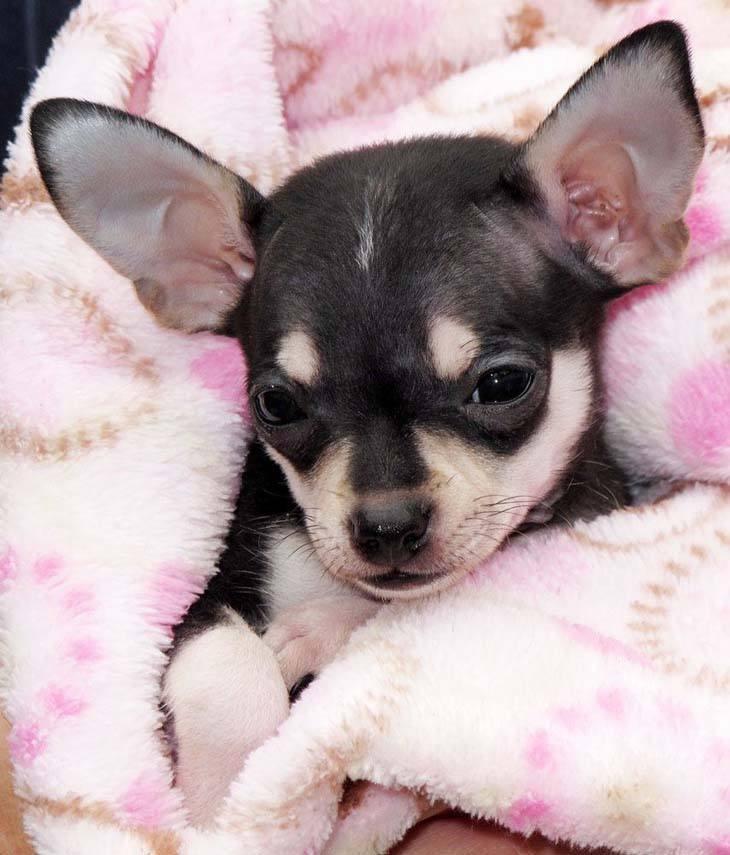 chihuahua snuggling