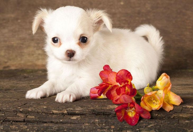 chihuahua puppy getting ready to pounce