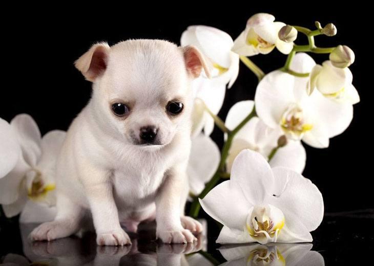 young chihuahua pup looking sad