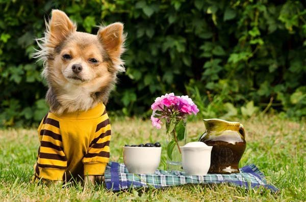 chihuahua puppy enjoying a picnic