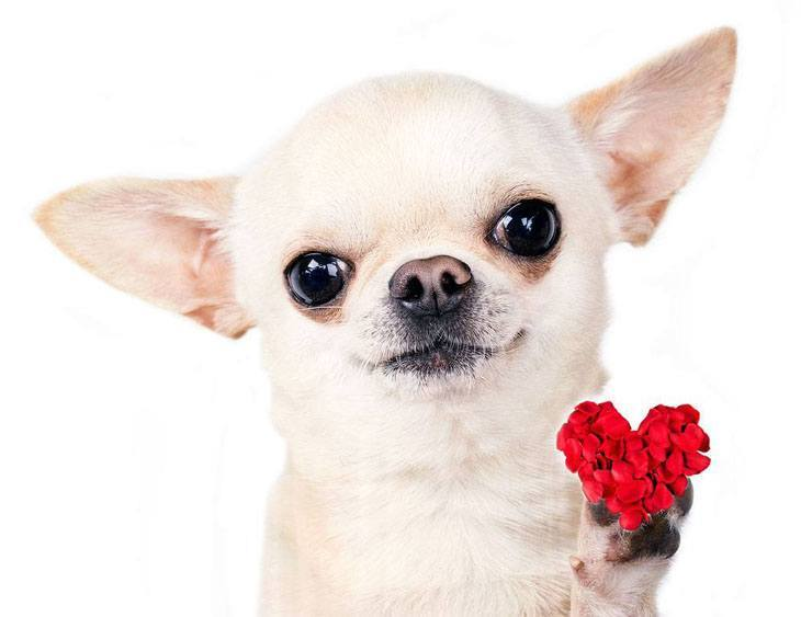 cute chihuahua sharing it's heart