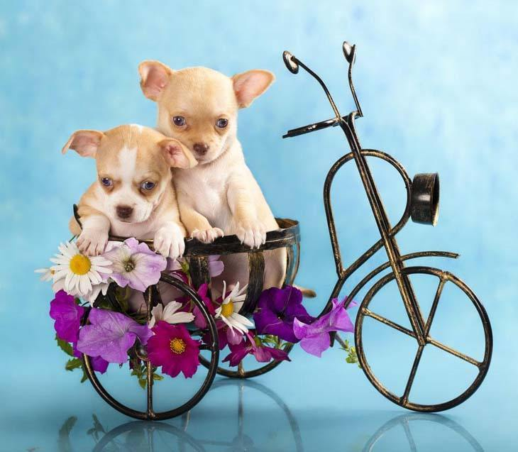 two chihuahua puppies out for a bike ride