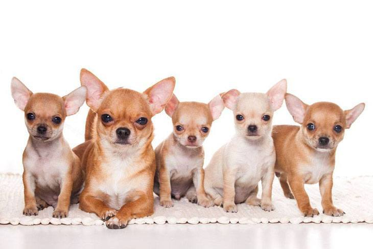 Chihuahua mama with her puppies