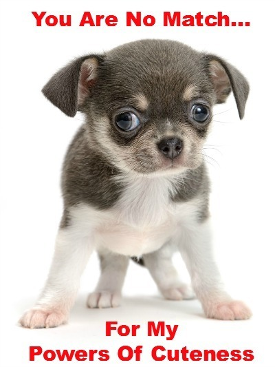 chihuahua puppy that knows it's cute