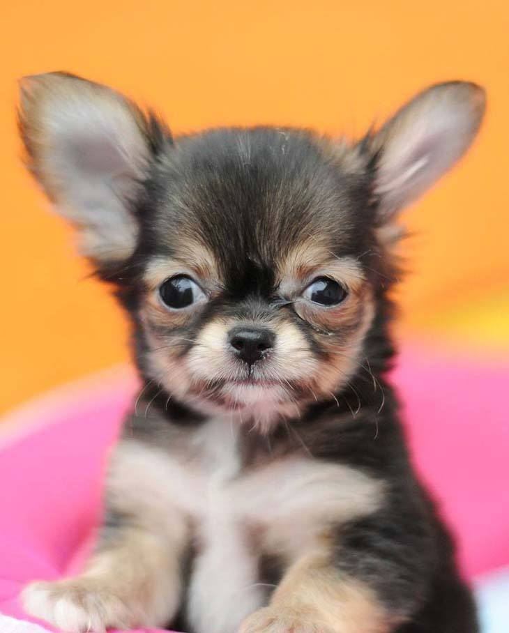 cute chihuahua puppy ready to play