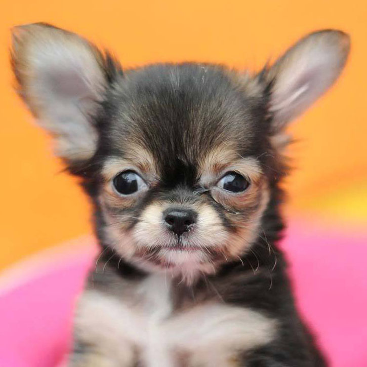 cute chihuahua puppy smiles for the camera