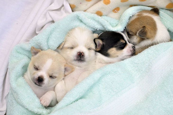 three adorable chihuahua sleepy heads