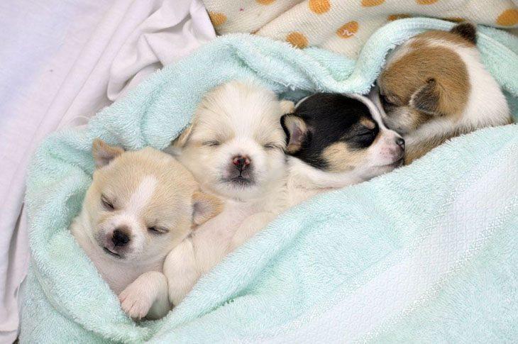 three adorable chihuahua sleepy heads