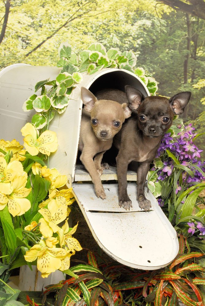 cute chihuahua special delivery