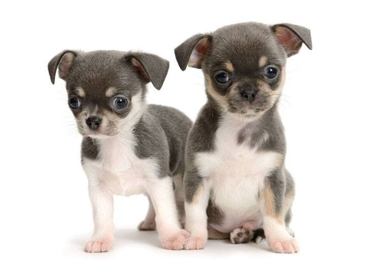 cute chihuahua pups looking for trouble
