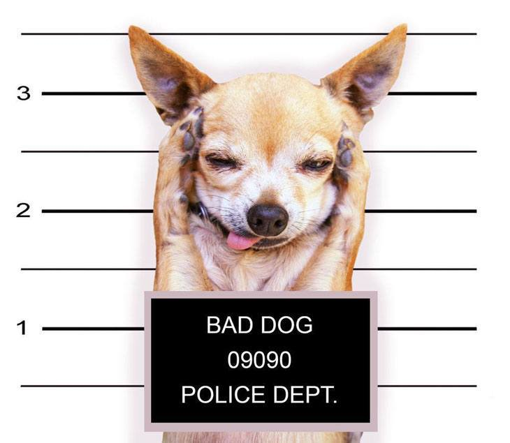 funny chihuahua thrown in jail for being too cute!