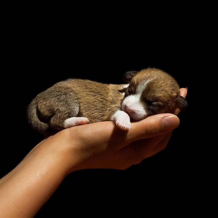 newborn chihuahua puppy