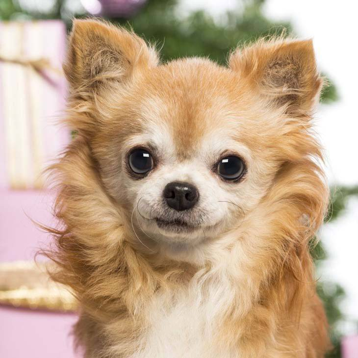 long haired chihuahua posing for camera