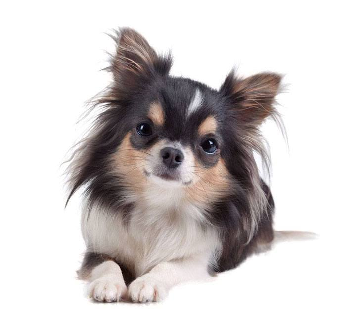 beautiful long haired chihuahua