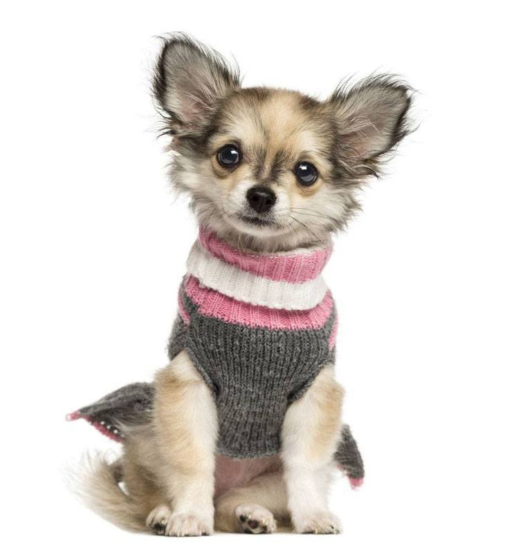chihuahua puppy ready to play with you