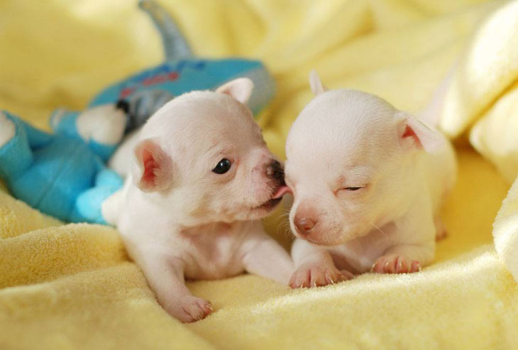 two chihuahua puppies smelling bacon