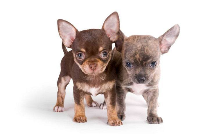 two adorable chihuahua puppies wanting to play